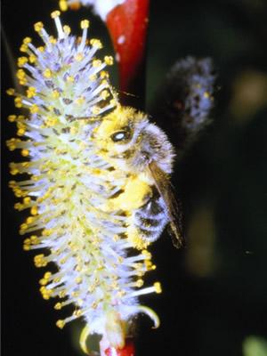 ヤヨイヒメハナバチ <i>Andrena hebes</i> Pérez ヒメハナバチ科 (青森県十三湖)